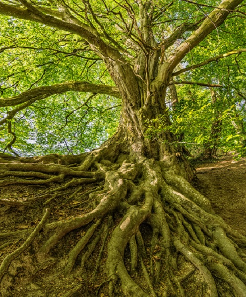 Beautiful green tree with many-branching roots